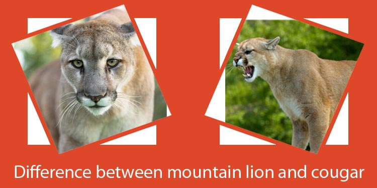 Difference between mountain lion and cougar