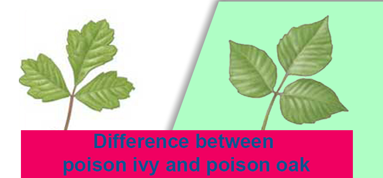 Difference between poison ivy and poison oak