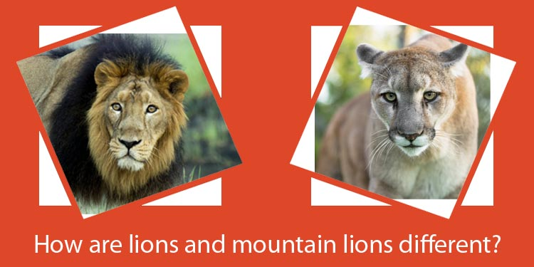 How are lions and mountain lions different