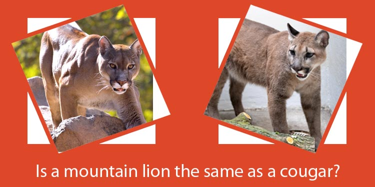 Is a mountain lion the same as a cougar